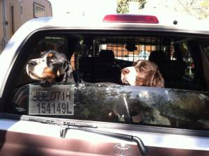 Our dogs in the vehicle while it shows the first temporary license.