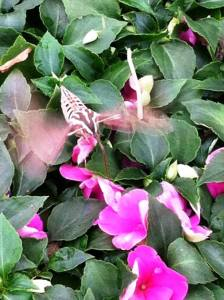 (c) 2014 Trina Lambert  Hummingbird Moth seen among the flowers at O'Toole's